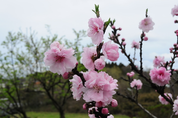 境内の花桃と枝垂れ桜